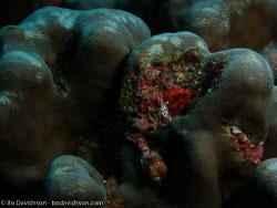 BD-070331-Similan-3310895-Porites-sp.-Link.-1807-[Hump-coral].jpg
